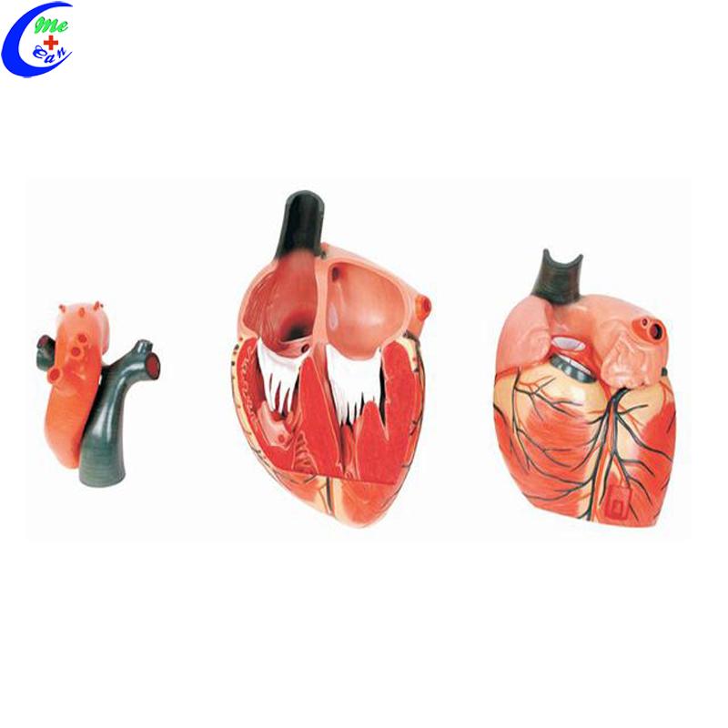 Anatomical Human Heart Model 1set Bulk Buy 1set MeCan 7