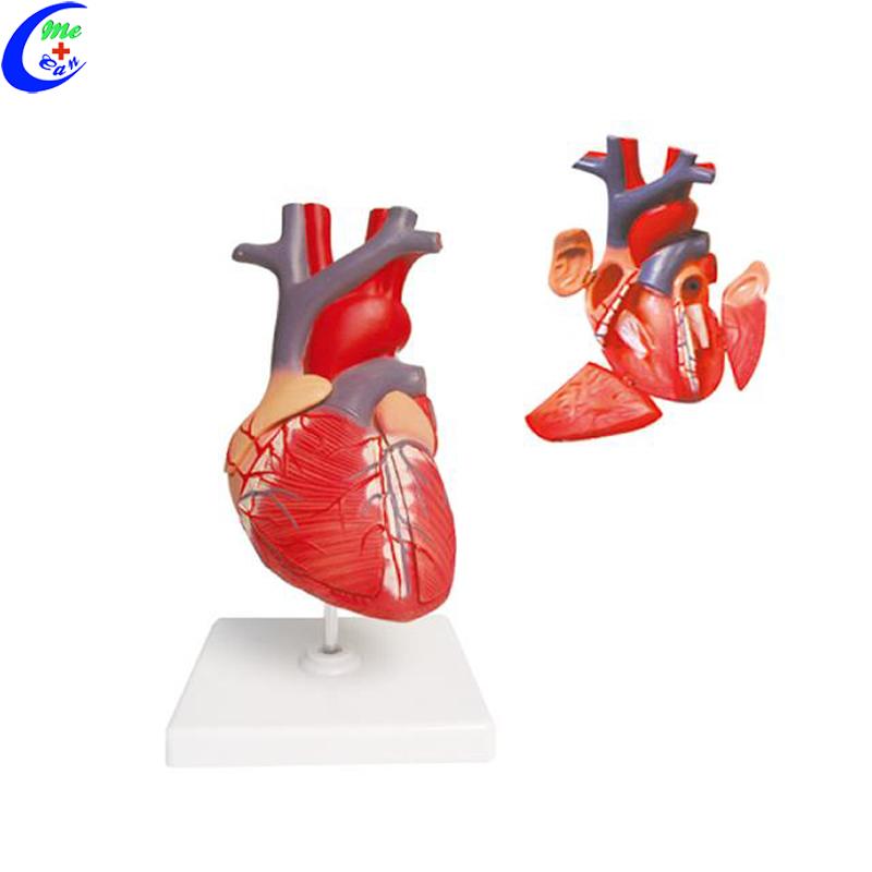 Anatomical Human Heart Model 1set Bulk Buy 1set MeCan 9