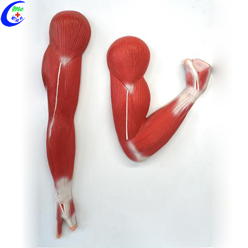 Medical Muscle Anatomical Models for Teaching