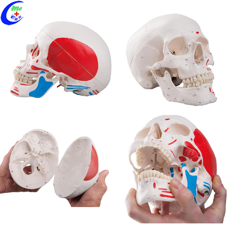 Medical Human Anatomy Colored Skull Model