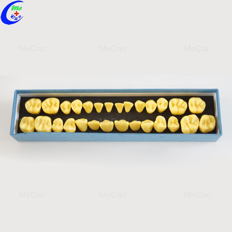 Dental Model Teeth