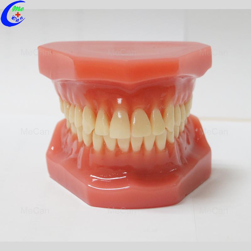 Dental Study Model