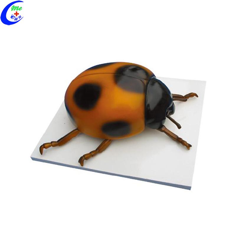 Education Models Ladybug Anatomy model