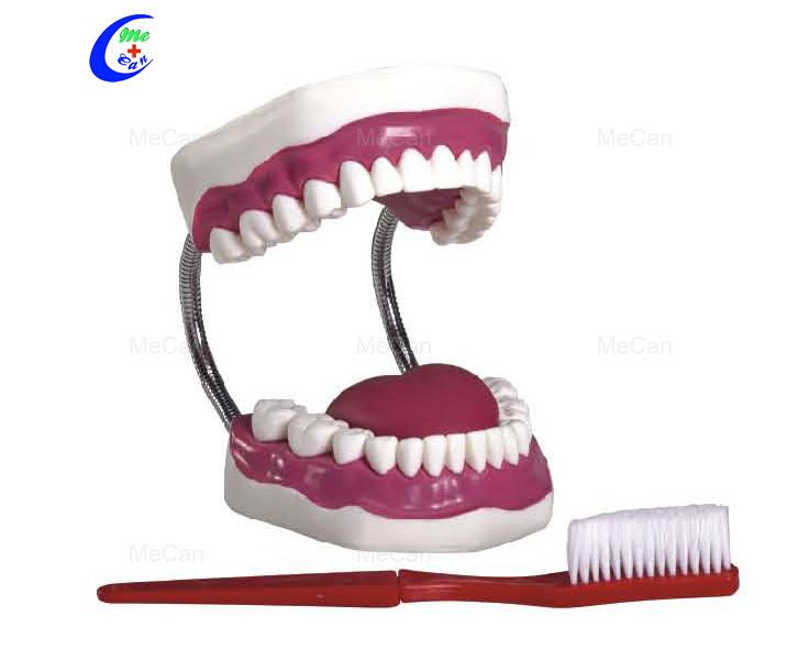 Dental Anatomical Model
