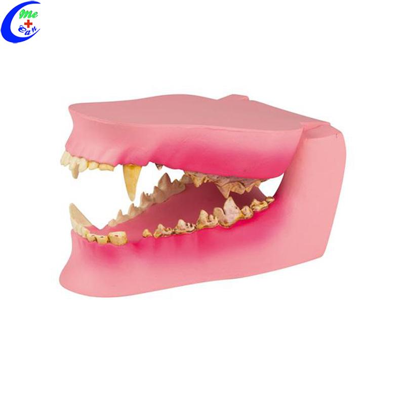 Dog Oral Cavity Teeth Model