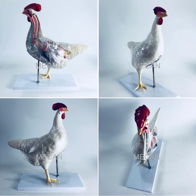 Cock Anatomical Models