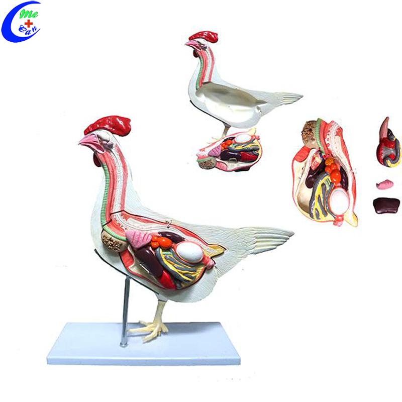 MeCan Brand 3-15 Working Days Custom Cock Anatomical Models 2